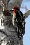 RedSapSucker