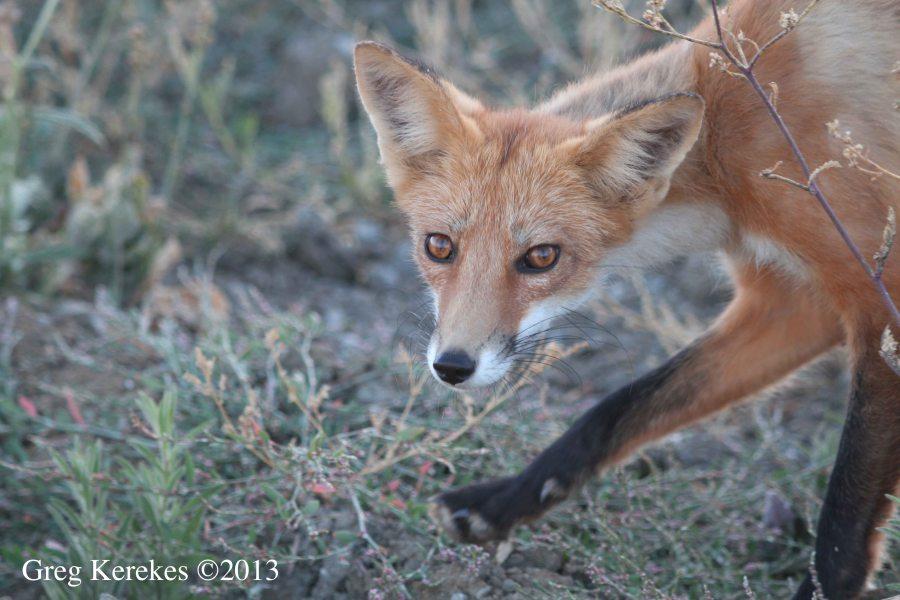 name fox eyes - photo #14